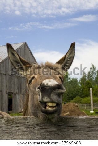 A portrait of a very expressive donkey making a silly face in mid bray. - stock photo