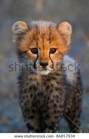 A portrait of a very young cheetah cub in golden light - stock photo