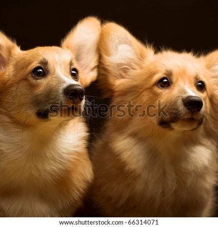 A portrait of a Welsh Pembroke Corgi. Two puppies. - stock photo