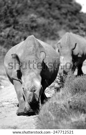 A portrait of a white rhino bull and a cow following.