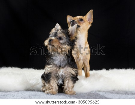 A portrait of a yorkshire terrier puppy and a chihuahua. Image taken in a studio with a black background. The puppy is ten (10) weeks old. - stock photo