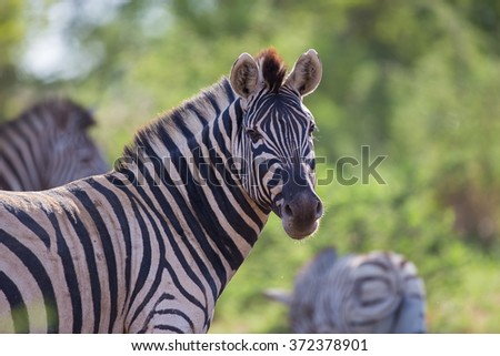 A portrait of a zebra looking over its shoulder - stock photo