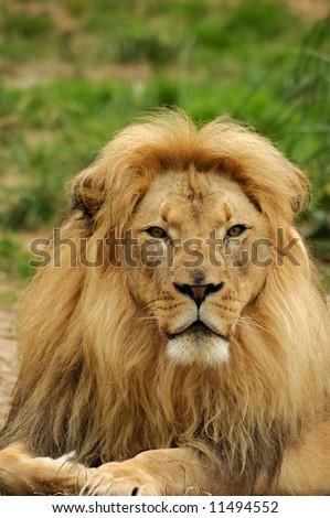A portrait of African lion (Panthera leo krugeri) male = vertical orientation. - stock photo