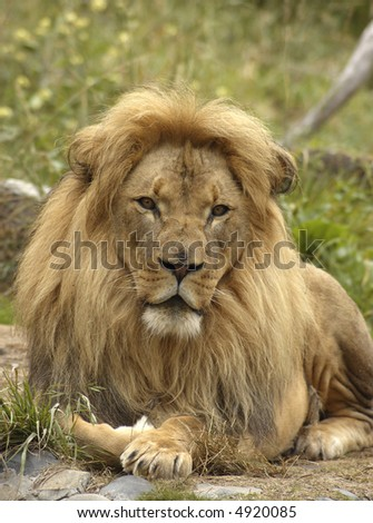 A portrait of african lion with a scarred nose, calmly staring at the viewer.