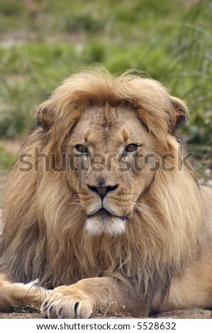A portrait of african lion with a scarred nose, proudly staring at the viewer.