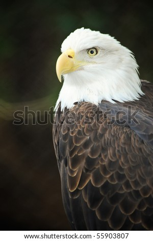 A portrait of an American bald eagle - stock photo