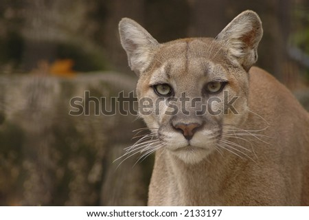 A portrait of an angry mountain lion. - stock photo