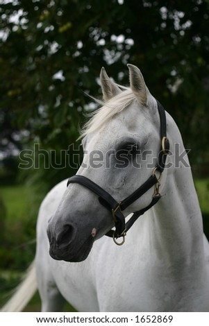 A portrait of an arabian grey horse
