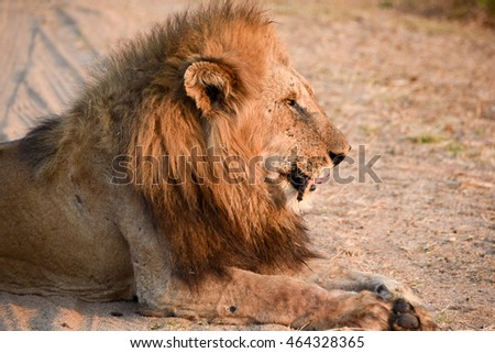 A portrait of an attentive male lion resting in the savanna in late afternoon sunlight