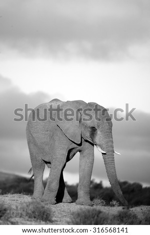 A portrait of an elephant bull walking towards the camera in Addo elephant national park,Eastern Cape,South Africa - stock photo