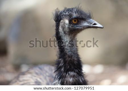 A portrait of an emu - stock photo