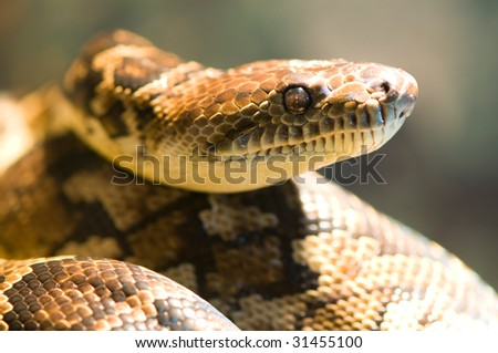 a portrait of an hunting boa constrictor - stock photo