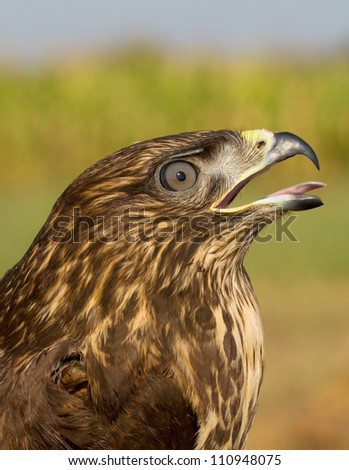 a portrait of an immature common buzzard - close-up / Buteo buteo