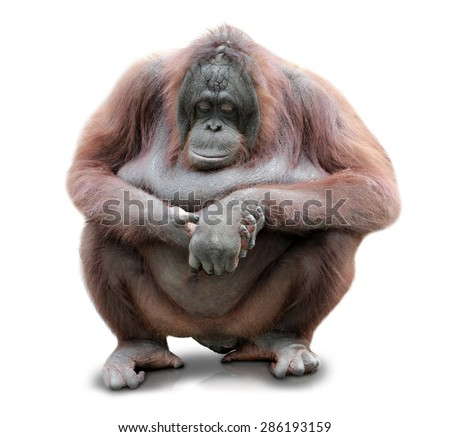 A portrait of an Orang Utan sitting on white background - stock photo