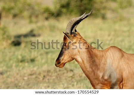 A portrait of beautiful Topi antelope - stock photo
