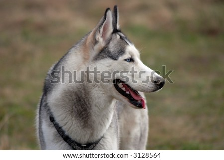 A portrait of blue eyed siberian husky