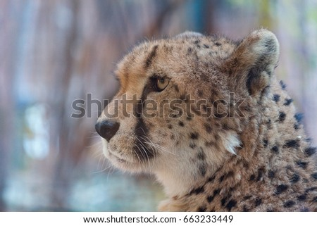 A portrait of cheetah in Beijing zoo, China.