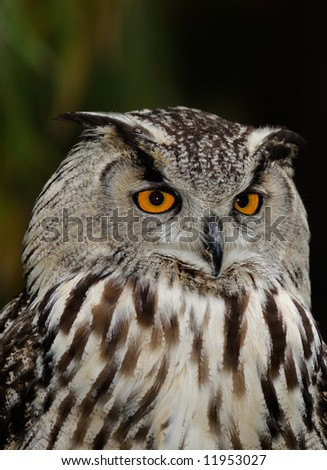 A portrait of Eurasian eagle owl (Bubo bubo) with copyspace on top.
