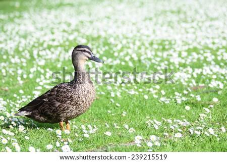 A portrait of female Mallard Duck standing proudly. - stock photo