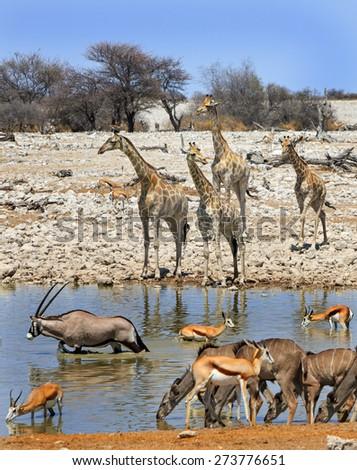 A portrait of giraffe, gemsbok Oryx, Kudu and springbok drinking from a waterhole in Etosha national park - stock photo