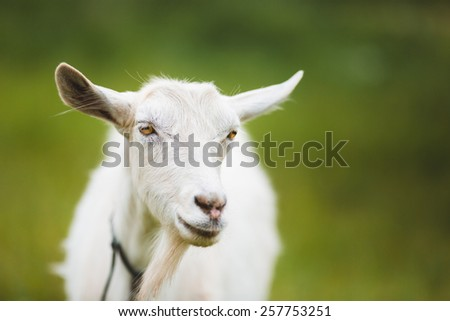A portrait of goat on the green background - stock photo