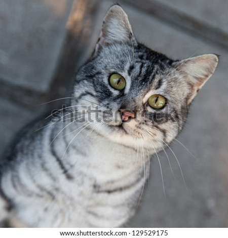 A portrait of gray cat close up - stock photo