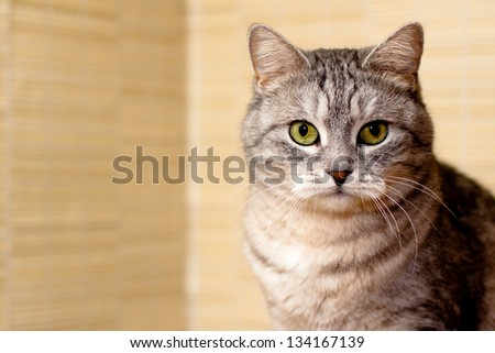A portrait of grey tabby cat
