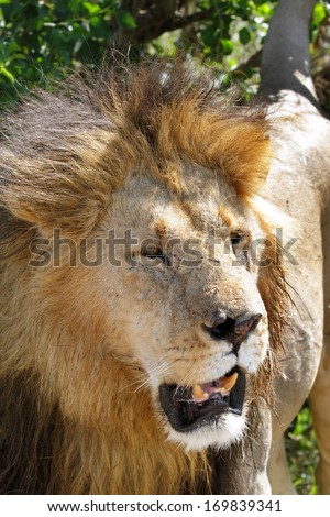 A portrait of lion - stock photo