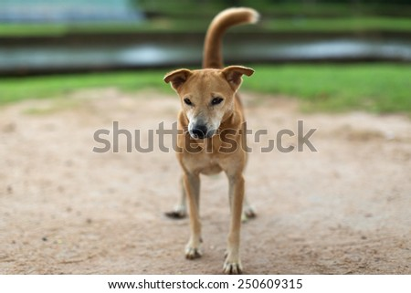 A portrait of lonely Sri Lankan dog - stock photo