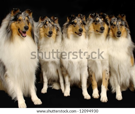 A portrait of 5 Rough Collie dogs - stock photo