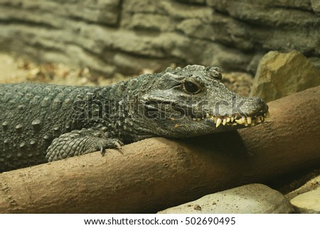 A portrait of the african Dwarf crocodile
