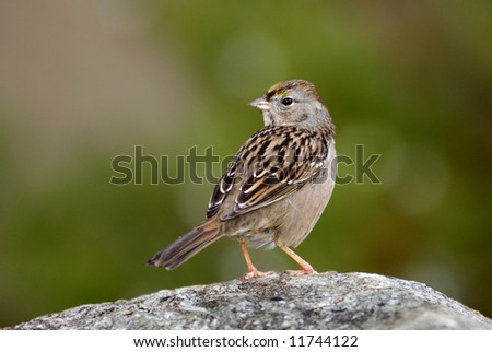 A portrait of the golden crowned sparrow (Zonotrichia atricapilla) on the stone.