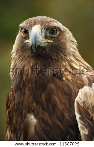 A portrait of the golden eagle (Aquila chrysaetos) looking straight at the viewer. - stock photo