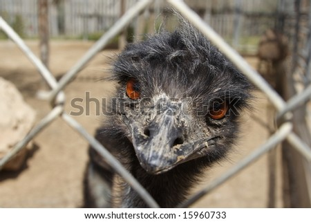 A portrait of the ostrich