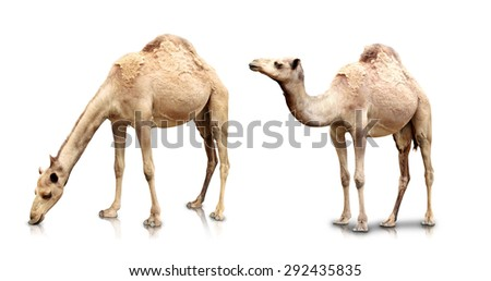 A portrait of Two camels isolated in white background - stock photo