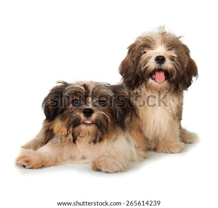 A portrait of Two happy havanese dog, one sitting while other laying on the floor, isolated on white background