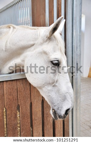 A portrait of white horse in stable behind cage - stock photo
