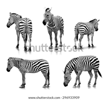 A portrait of Zebras in many angles and poses, isolated in white background - stock photo