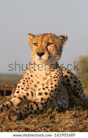 A portrait photo of a cheetah lying down in golden light - stock photo