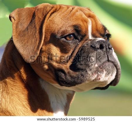 A Portrait shot of a boxer - stock photo