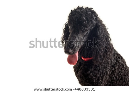 A portrait shot of a cute black royal poodle isolated on a white background with a place to type your text in - stock photo