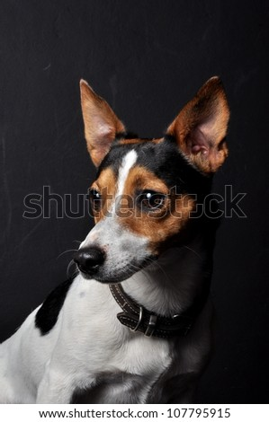 A portrait studio shot of a male purebred short legged jack Russel terrier that is trio color , is staring to the right of the image on an isolated black background