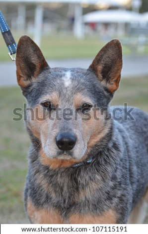 A portrait style image of a purebred male Australian Blue Cattle dog, aka Blue Healer, with collar and lead attached. - stock photo