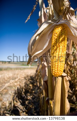 A portrait version isolated corn with farm in background. - stock photo
