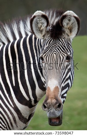 A portrait view of a Grevy's Zebra - stock photo
