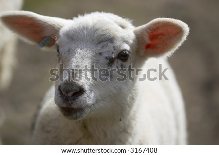 A portriat of a  new born lamb in a field in the UK