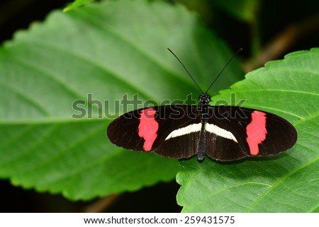 A Postman butterfly arrives at the butterfly gardens. - stock photo