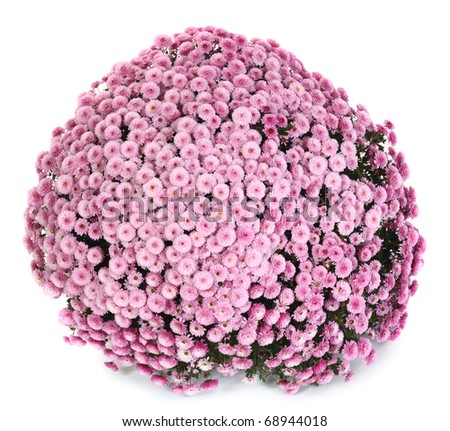 A pot of beautiful pink autumn chrysanthemums isolated on white background - stock photo