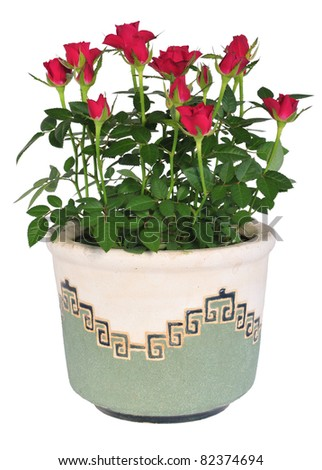 A pot of beautiful red rose flowers isolated on white. - stock photo