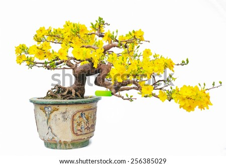 a pot of beauty and valuable Apricot blossom ( Chau Hoa mai ) with drawing paint effect ,the flowers of traditional Vietnamese new year isolated on white background. - stock photo
